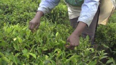 Harvesting tea bush — Stock Video