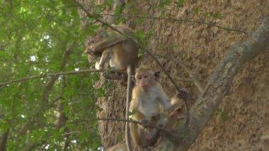 Monkeys on tre — Stock Video