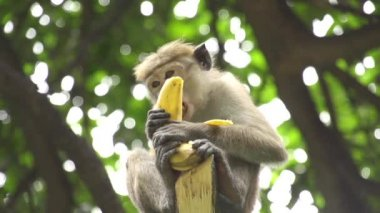 Monkey eating banana — Wideo stockowe