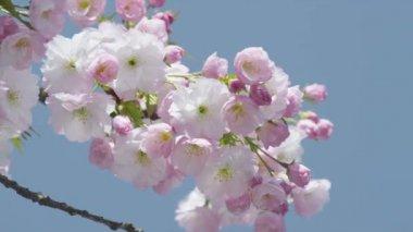 Cherry tree blooming — Vídeo de stock