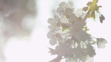 Bílé květy — Stock video