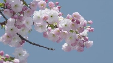 Kvetoucí třešeň — Stock video