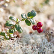 Stock Photo: Red berry cowberries