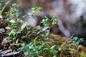 Unripe berries lingonberry — Stock Photo