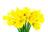 Yellow spring narcissus — Foto Stock