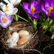 Easter nest with eggs with crocuses — Stock Photo