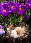 Easter nest with eggs with crocuses — Foto de Stock