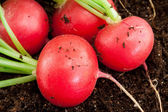 Organic radish grows in the ground — Stock Photo