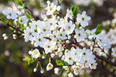 Blooming tree with white beautiful flowers — Stock Photo