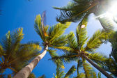 Coconuts palm trees perspective view from floor high up — Stock Photo