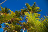 Coconuts palm trees perspective view from floor high up — Foto Stock