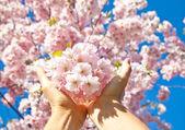Cherry blossom, sakura flowers — Stock Photo