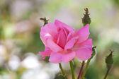 Nahaufnahme der rosa rose — Stockfoto