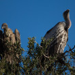 Vultures in the savanna. — Stock Photo