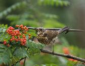 Snowbird — Stock Photo
