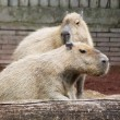 Couple of capibara — Stock Photo #31848039