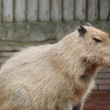 Capibara — Stock Photo #31848607
