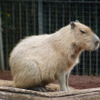 Capibara — Stock Photo