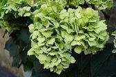 Hydrangea arborescens — Stock Photo