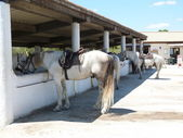 Horses in Camargue, France — Stock Photo
