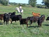 Bulls in Camargue, France — Stockfoto