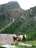Cow grazing in Trentino, Italy — Stock Photo