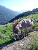Donkey near Fort Marie Christine, French Savoy — ストック写真