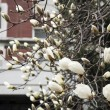 White magnolia flowers on tree — Zdjęcie stockowe