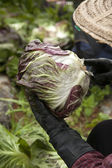 Hands cutting and collecting cabbage — Stock Photo