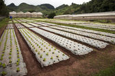 Rows of young vegetable plants — Stock Photo