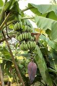 Banaan fruit op boom — Stockfoto