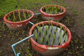 Rice plants grow in cement pots — Stock Photo