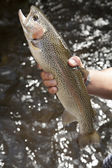 Rainbow Trout grow in flow-through system — Stock Photo