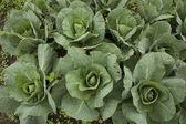Organické zelí ve farmě — Stock fotografie