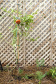 Tomato plant in garden — Stock Photo