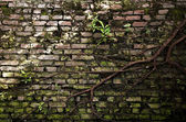 Old brick wall with root of banyan tree — Stock Photo