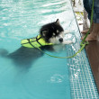 Alaskan Malamute exercise in pool — Stock Photo
