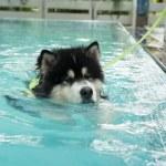 Alaskan Malamute exercise in pool — Stock Photo #46069859
