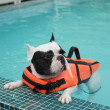 French Bull dog swimming in pool — Stock Photo #46069991