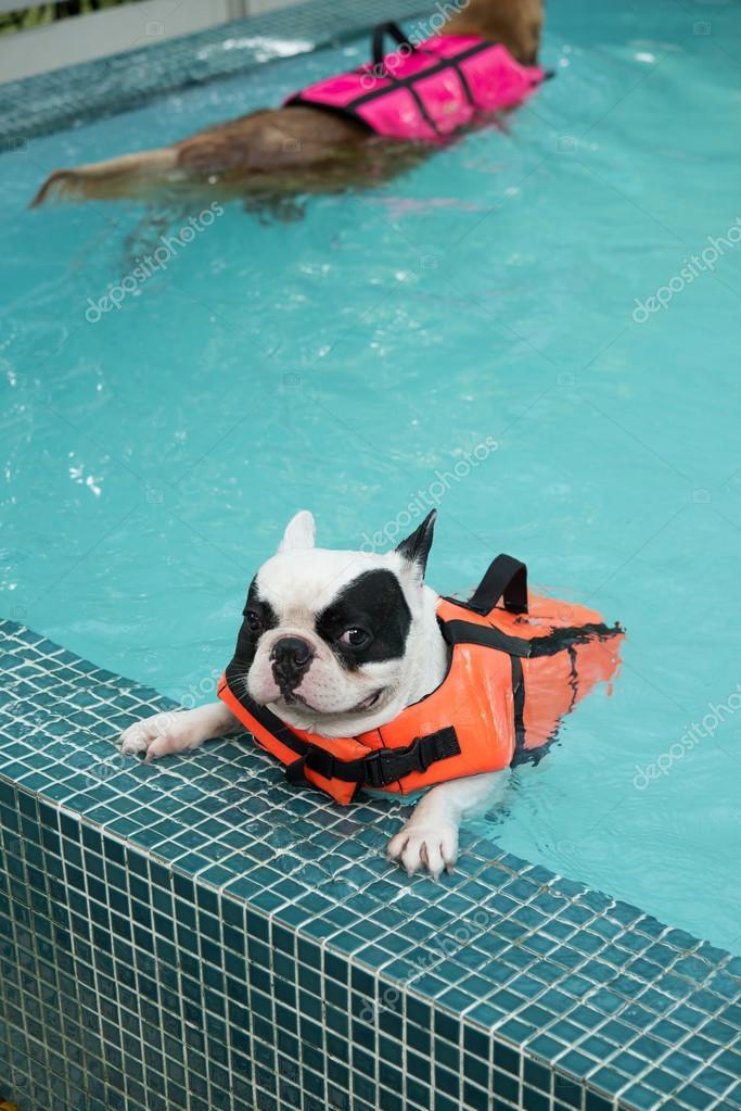 franc s perro toro nadando en la piscina foto de stock