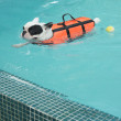 French Bull dog swimming in pool — Stock Photo
