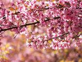 Prunus cerasoides, Wild Himalayan Cherry, Thai sakura — Stock Photo