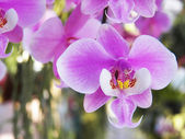 Phalaenopsis sanderiana — Stock Photo
