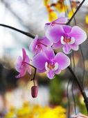 Phalaenopsis sanderiana — Stock Photo