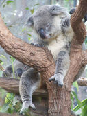 Sleeping koala — Stockfoto