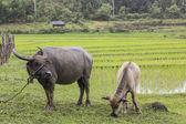 Buffalo in field — Stock Photo