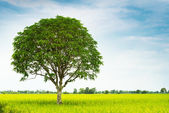 Mango tree in rice farm — Stock Photo