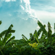 Banana tree and beautiful cloud — Stock Photo