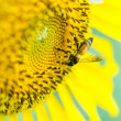 Stock Photo: Closeup sunflowers and bee