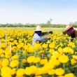 Foto Stock: Harvesting marigolds flowers